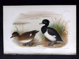 Baker & Gronvold Indian Ducks 1908 Antique Bird Print. The Tufted Pochard